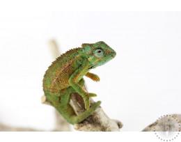 Elliot's Chameleon