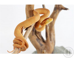 Yellow Amazon Tree Boa