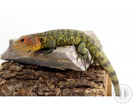 CB Caiman Lizard