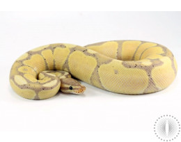 Super Pastel Banana Enchi Ball Python
