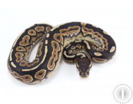 Cinnamon Yellow Belly Ball Python