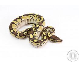 Lesser Yellow Belly Ball Python