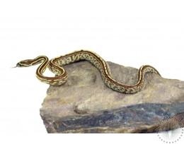 Tessera Caramel Het Scaleless Corn Snake