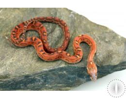 Scaleless Okeetee Corn Snake