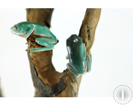CB Giant Waxy Monkey Tree Frog