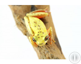 Reticulated Clown Tree Frog