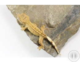 Tiger Partial Pinstripe Crested Gecko