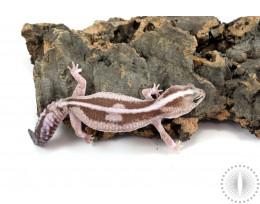 Striped Oreo Zulu African Fat Tail Gecko