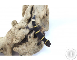 CB Baby Chinese Cave Gecko - Regenerated Tail