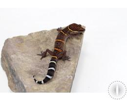 CB Bawangling Cave Gecko