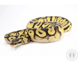 Pastel Orange Dream Yellow Belly Het Pied Ball Python