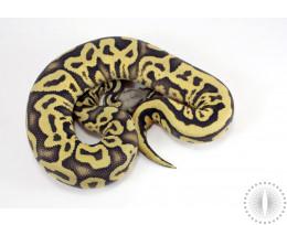Hypo Pastel Leopard Ball Python