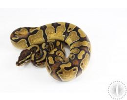 Enchi Ball Python