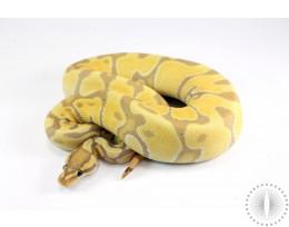 Banana Enchi Ball Python