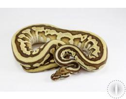 Leopard Lesser Ball Python