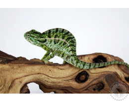 Carpet Chameleon