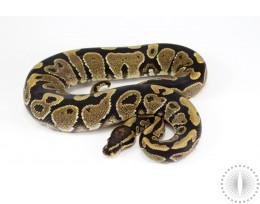 Granite Yellow Belly Ball Python