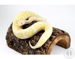 Pastel Albino Yellow Belly HRA Ball Python