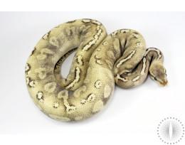 Lesser GHI Mahogany HRA Ball Python