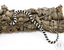 50/50 Black and White Banded California Kingsnake