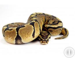 Spotnose Ball Python
