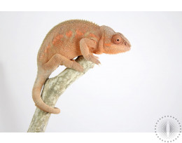 Ambilobe Blue Bar Panther Chameleon