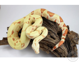 Sunglow Colombian Boa
