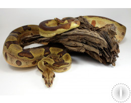 Hypo Jungle Colombian Boa