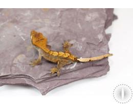 Chocolate Harlequin Crested Gecko