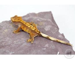 Orange Harlequin Crested Gecko