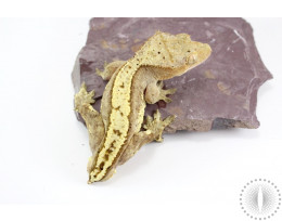 Tailess Yellow Harlequin Crested Gecko