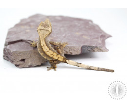 Reverse Pinstripe Low Expression Dalmatian Crested Gecko