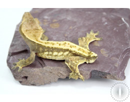 Yellow Harlequin Crested Gecko - ADOPTION