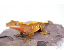 Orange/Red Harlequin Crested Gecko