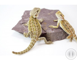Genetic Stripe Bearded Dragon - Nipped Tail Special