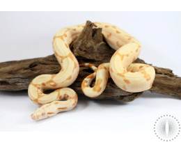 Arabesque Sunglow Colombian Boa