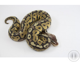 Pastel Het Red Axanthic Specter Ball Python