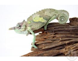 Sailfin Chameleon