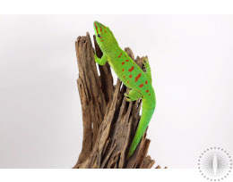 Kochi Day Gecko