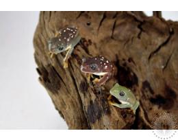 Mexican Waxy Leaf Frog