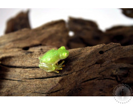 Northern Glass Frog