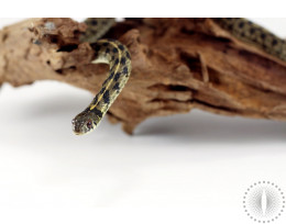 Texas Checkered Garter Snake