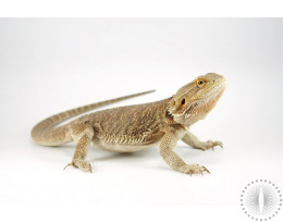 Yellow Cross Bearded Dragon
