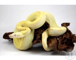Albino Motley Colombian Boa