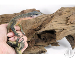 Peachthroat Monitor