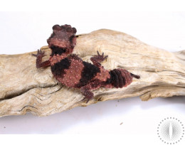 Rough Knob Tail Gecko