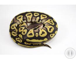 Pastave Het Albino Ball Python