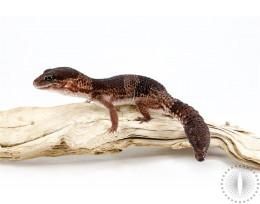 Adult African Fat Tail Gecko - Regen