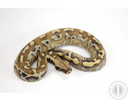 Bangka Red Blood Python