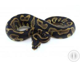 Leopard Yellow Belly Ball Python